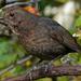 MRS BLACKBIRD by markp