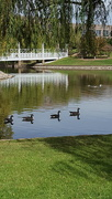 6th Nov 2016 - Return of the Canada Geese