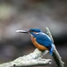 Male Kingfisher with fish. Best on black by padlock