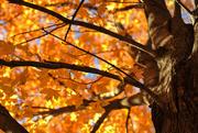 7th Nov 2016 - Golden Autumn