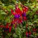 Hardy Fuchsia by tonygig
