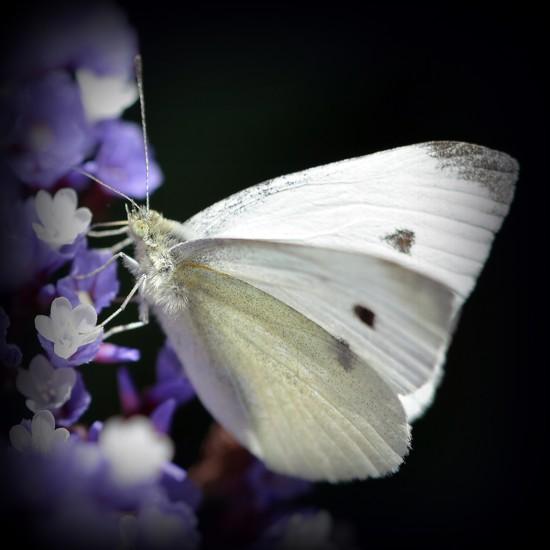 Pretty on Purple_DSC5633 by merrelyn