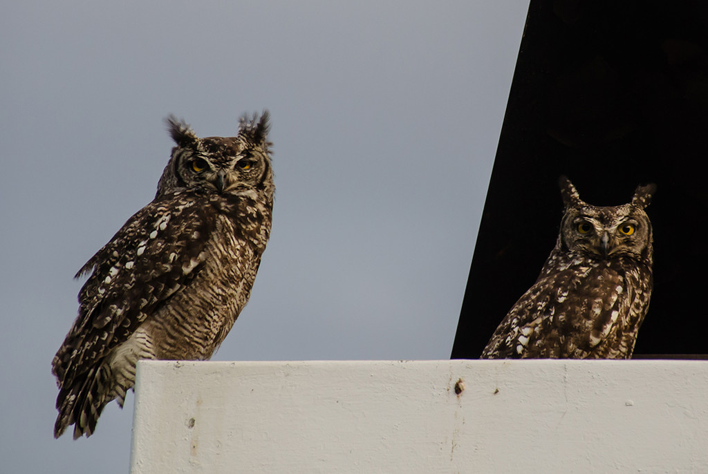 Owl Pair by salza