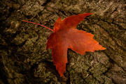 8th Nov 2016 - another red maple leaf? argh!