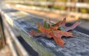 8th Nov 2016 - Autumn Oaks