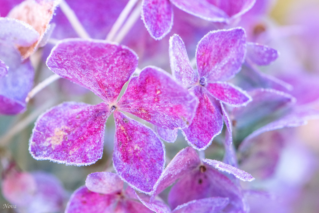 Frosted Flowers by novab