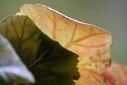 9th Nov 2016 - Begonia leaves