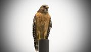 9th Nov 2016 - Red Shouldered Hawk Singing on the Pole!
