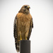 Red Shouldered Hawk Singing on the Pole! by rickster549