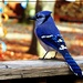 Mr. Blue Jay by olivetreeann