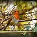 My garden robin by rosiekind