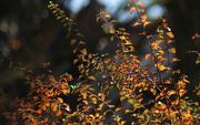 10th Nov 2016 - Spirea leaves