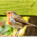 2016 11 10 - My little robin by pamknowler