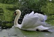 1st Oct 2016 - swan