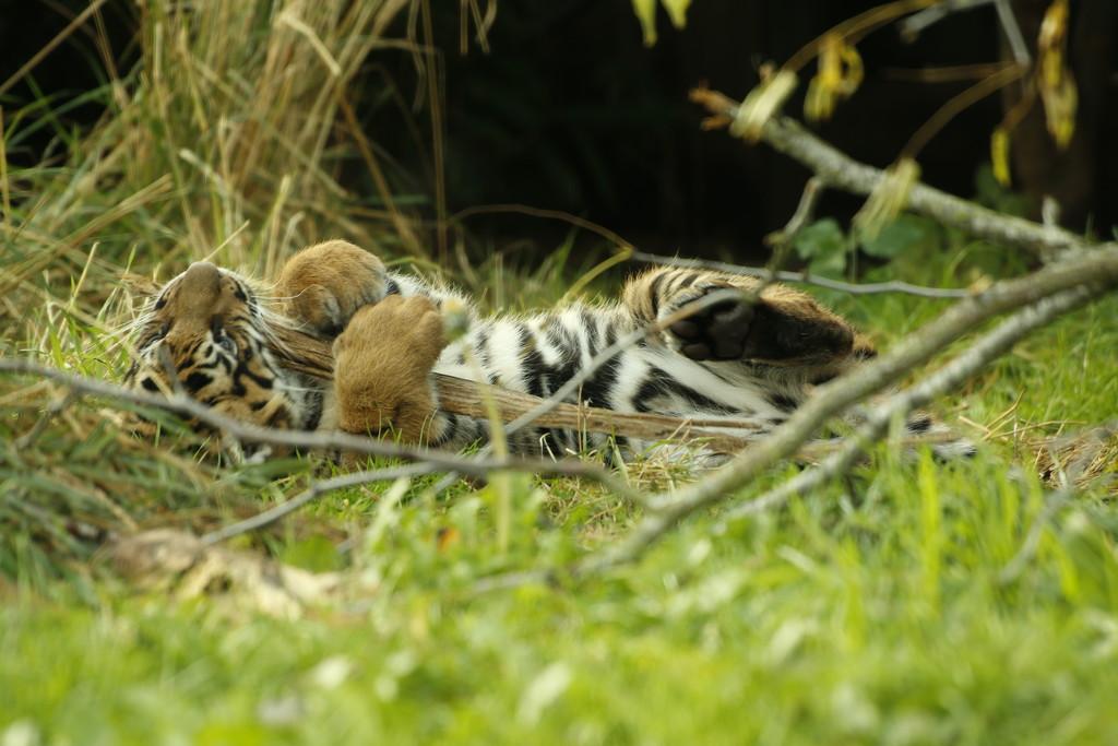 Baby tiger London zoo by bizziebeeme