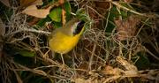 11th Nov 2016 - Somewhat Yellow Bird!