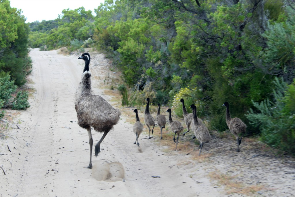Family of Emus by leestevo