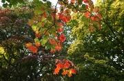 12th Nov 2016 - leaves in sunlight...