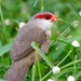common waxbill by mjalkotzy