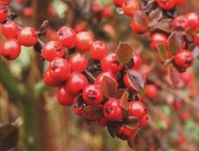 12th Nov 2016 - Bright Berries