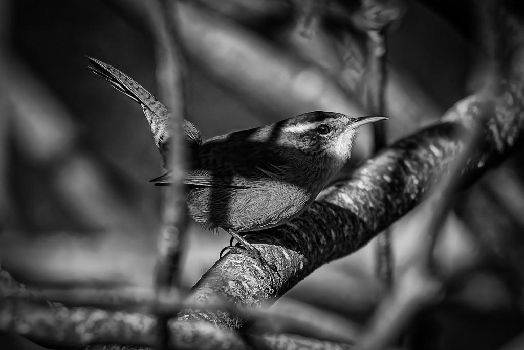 Film Noir - bird version by mikegifford