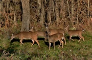 9th Nov 2016 - oh deer