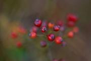 5th Nov 2016 - berries