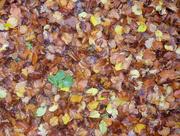 12th Nov 2016 - Autumn Leaves