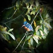 13th Nov 2016 - Kingfisher-early morning light