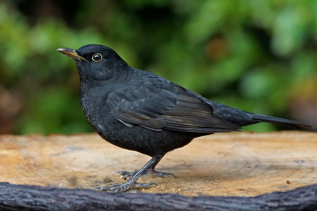 BLACKBIRD - MALE by markp