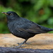 BLACKBIRD - MALE by markp