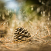 pine cone by aecasey