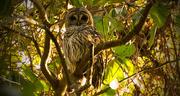 13th Nov 2016 - My Owl is Back!