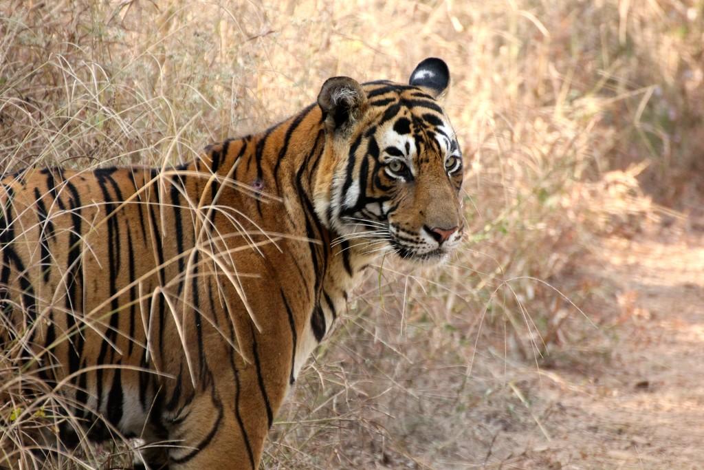 Tiger Tiger by jamibann