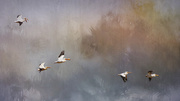 14th Nov 2016 - White Pelicans Flying with Textures