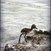 Baby Pied Stilt by yorkshirekiwi