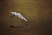 15th Nov 2016 - Flying White Egret with Textures