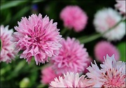 10th Nov 2016 - Pink Flowers in a Cape May Garden