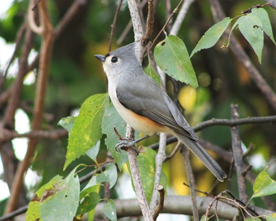 Tufted Titmouse by cjwhite