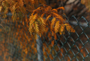 15th Nov 2016 - Autumn Dawn Redwood