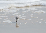 14th Nov 2016 - Sandpiper Shore Bird
