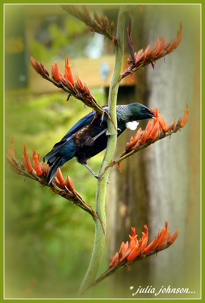 Tui in the Flax by julzmaioro