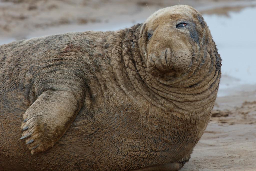 Battered Grey Seal by padlock