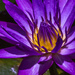 Water lily by gosia