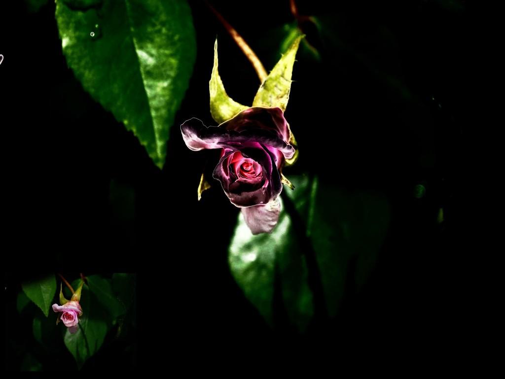 Rosebud in Rain by maggiemae