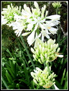 17th Nov 2016 - White Agapanthus