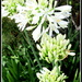 White Agapanthus by 777margo