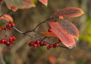 16th Nov 2016 - Autumn Berries