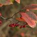 Autumn Berries by loweygrace