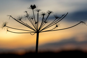 16th Nov 2016 - Seed Head Silhouette